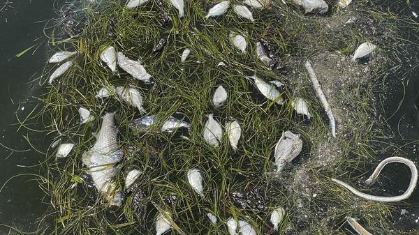 Dead fish are visible in the water at North Shore Park on Friday in St. Petersburg. The Sunshine City has become the epicenter of Tampa Bay's ongoing Red Tide crisis, and no one can say when it will get better.