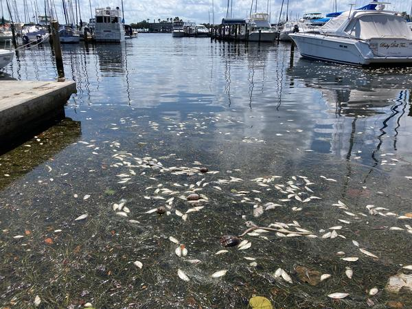 Fish killed by red tide float in the St. Petersburg Municipal Marina basin last week