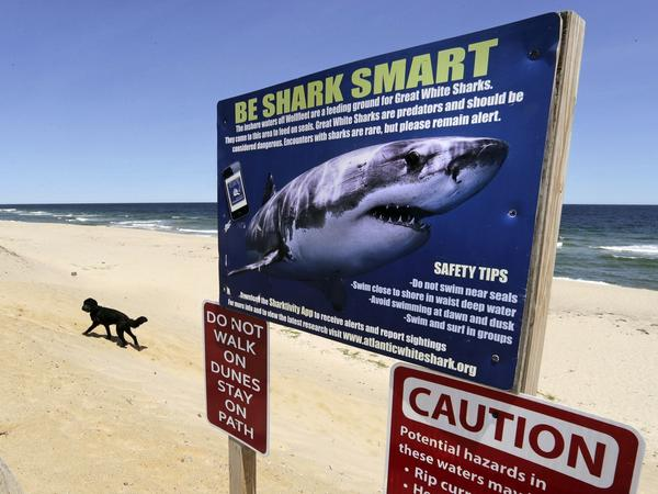 A sign at Newcomb Hollow Beach in Wellfleet, Mass., warns of sharks in 2019. Beachgoers on the other side of the world will be happy to learn they will not be attacked by sharks ... just bitten.