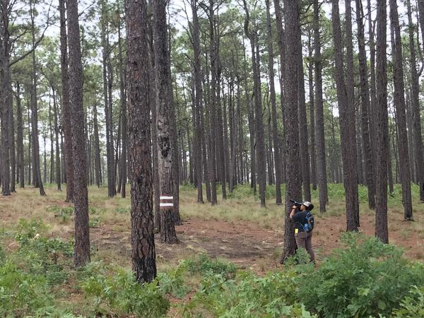 Lauren Pharr looks for red-cockaded woodpecker chicks as part of her PhD research project. Pharr conducts her fieldwork in the Sandhills Gamelands.