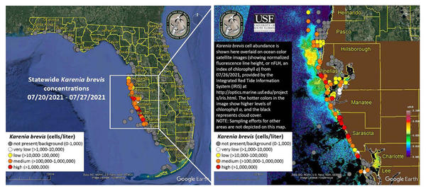 Red tide concentrations are increasing along the beaches