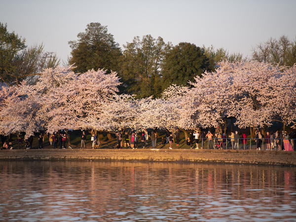 Visitors gather to watch the sunrise under blooming Japanese cherry blossom trees along the Tidal Basin in Washington, D.C., on March 30.