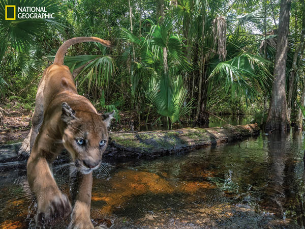A male panther leaps over a creek at Florida Panther National Wildlife Refuge in southwestern Florida. The rarely seen cats, which number around 200, are reclaiming territory north of the Everglades, but encroaching suburban sprawl is threatening their habitat.