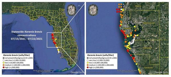 High concentrations of red tide are being detected off many Gulf beaches