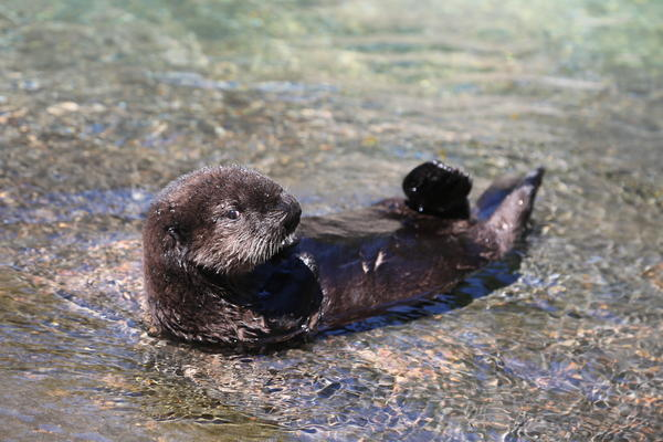 Earle is the newest sea otter in Oregon, living at the aquarium in Newport. Sea otters have not naturally repopulated to the Oregon Coast from California or Washington, so a reintroduction effort is now being studied.