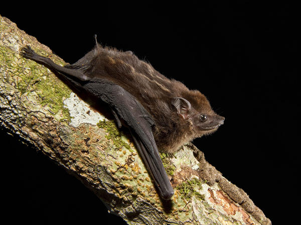 After listening to hours of bat pups in the wild, scientists have identified eight characteristics of babbling that are shared by human babies and the greater sac-winged bat.
