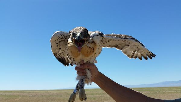 As ferruginous hawk populations decline in Washington, the state Fish and Wildlife Commission voted to change the status of the hawks from threatened to endangered.