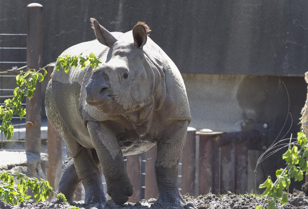 Jontu, an Indian rhino, wanders around his enclosure at the Henry Doorly Zoo and Aquariumin in Omaha, Neb. Last week, an improperly closed gate allowed him to wander a little farther.