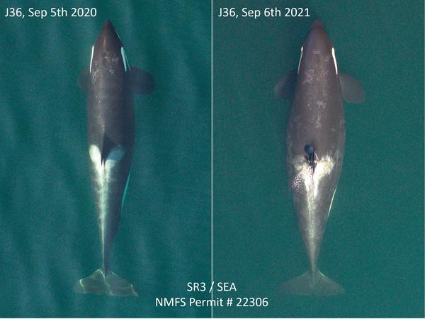 Comparison photos captured by research nonprofit SR3 showed endangered Pacific Northwest orca J36 is pregnant.