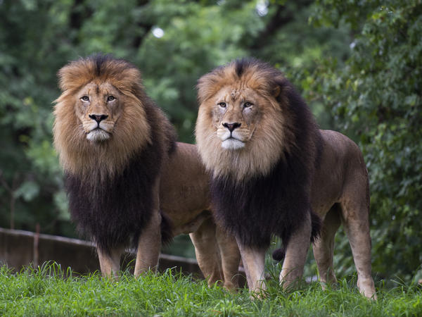 Lions watch visitors from their enclosure at the Smithsonian National Zoo in Washington, D.C., in July 2020.