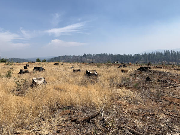 Stumps from recently logged trees in the footprint of the deadly Camp Fire. Some 40,000 trees have now been removed around Paradise.