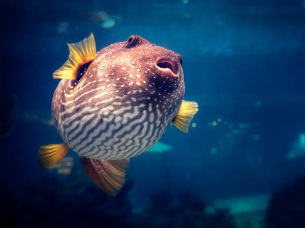 Various types of pufferfish are among those served as the gastronomic delicacy fugu. The paralyzing nerve toxin some of these fish contain is also under study by brain scientists hunting new ways to treat amblyopia.