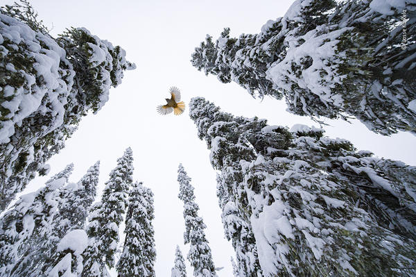 <em>High-flying jay</em>, by Lasse Kurkela, Finland, winner, age category: 15-17 years. Lasse Kurkela watches a Siberian jay fly to the top of a spruce tree to stash its food. Kurkela wanted to give a sense of scale in his photograph of the Siberian jay, tiny among the old-growth spruce-dominated forest. He used pieces of cheese to get the jays accustomed to his remotely controlled camera.