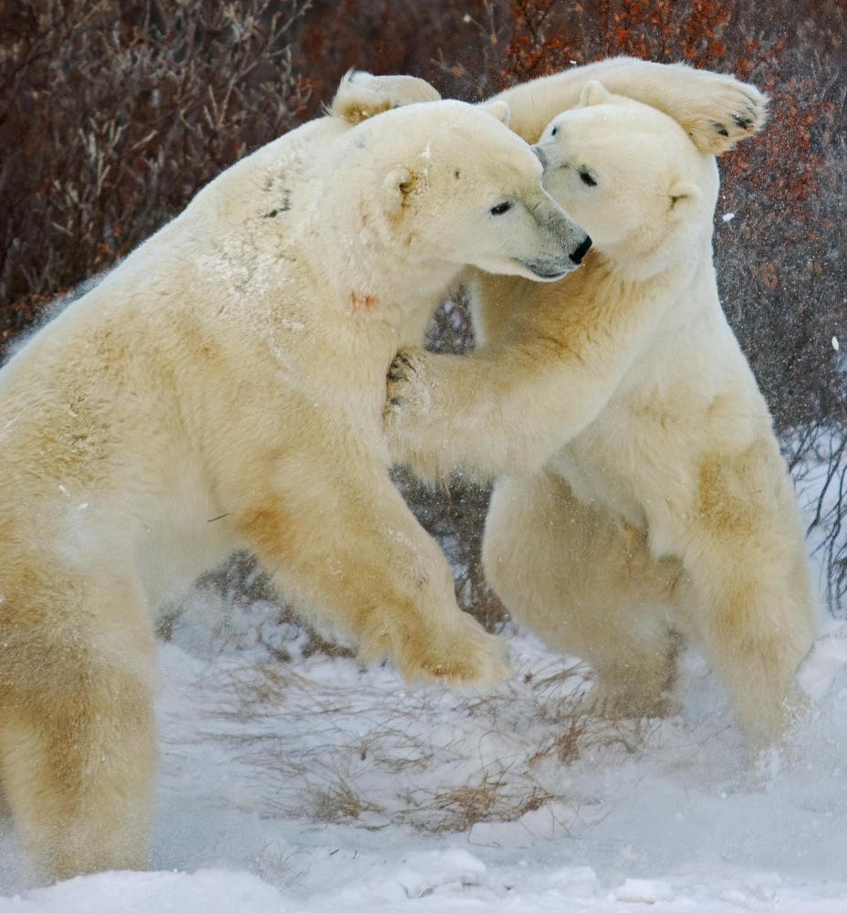 Feds Interview New Witnesses In Polar Bear Probe | WCBE 90 5 FM