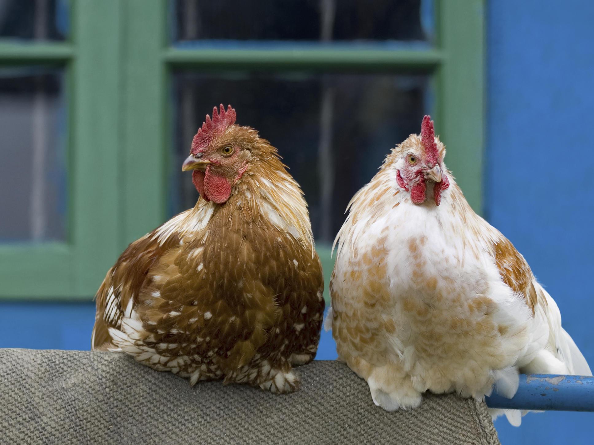 Backyard Chickens: Cute, Trendy Spreaders Of Salmonella ...