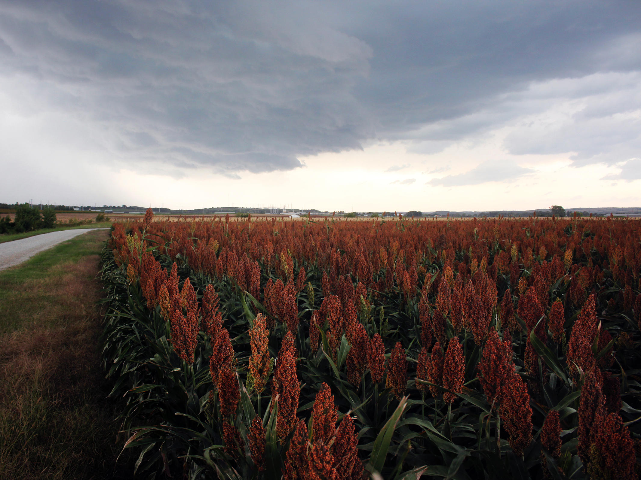 Heat, Drought Draw Farmers Back To Sorghum, The 'Camel Of