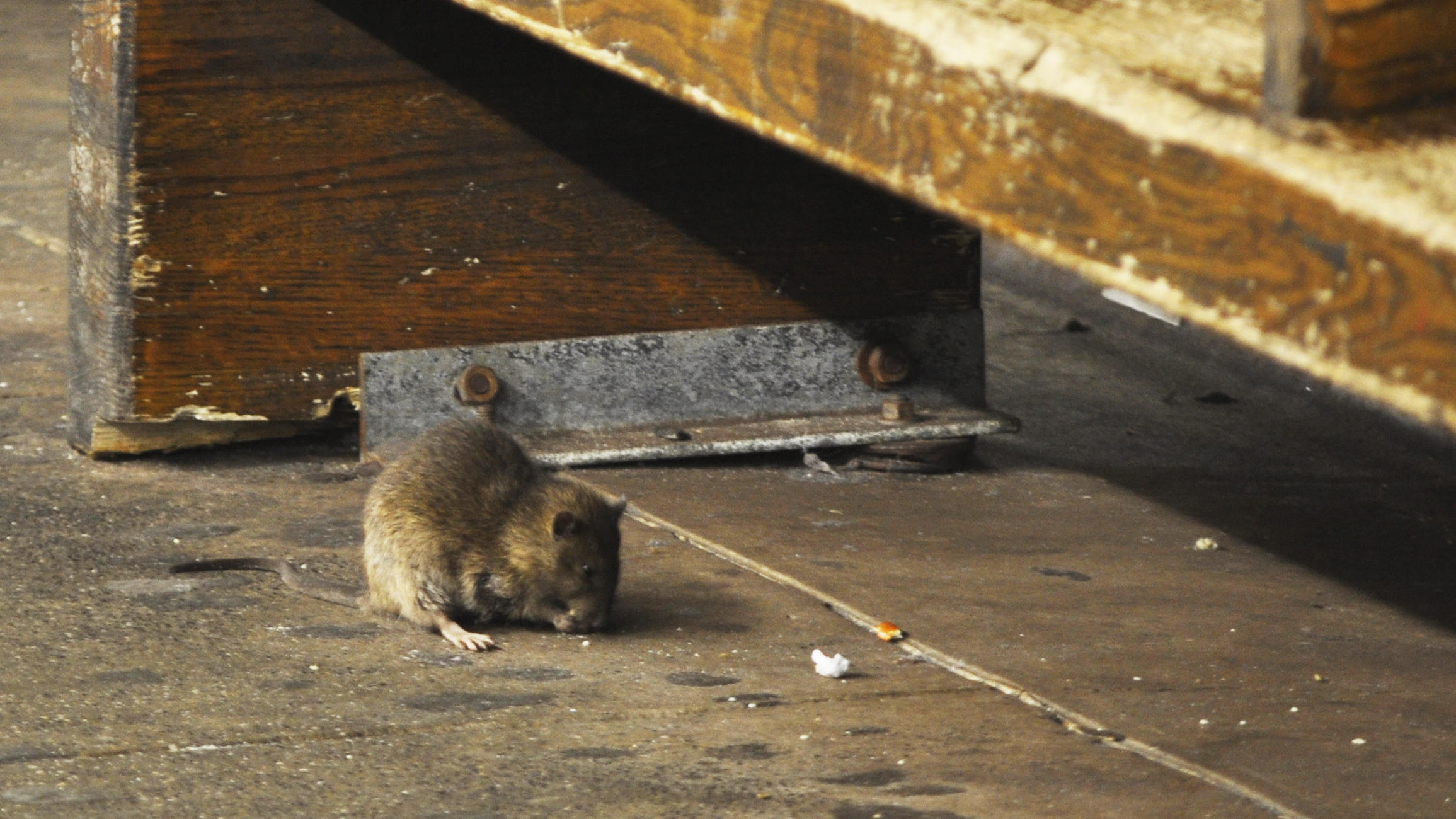 Rats! New York City Tries To Drain Rodent 'Reservoirs' | WUNC