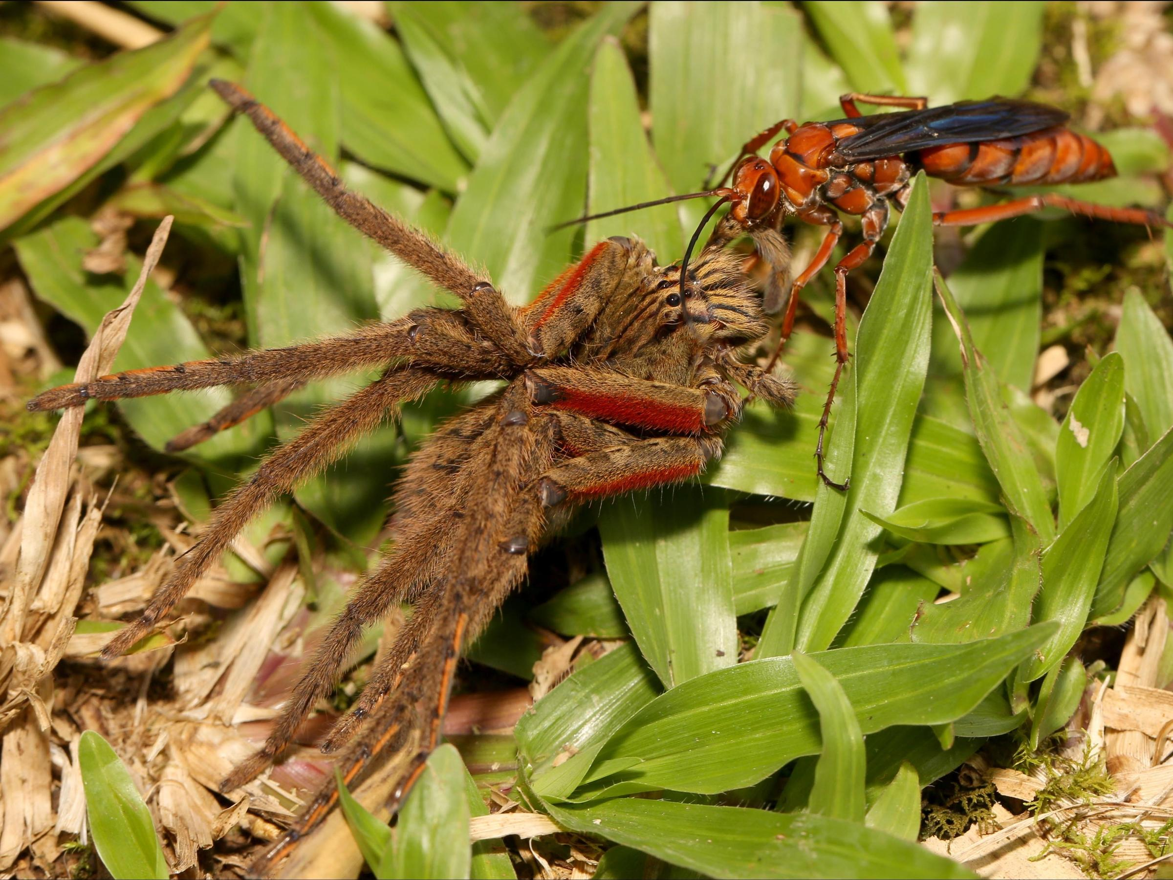 For This Tarantula Killing Wasp Dinners A Meal Best Served