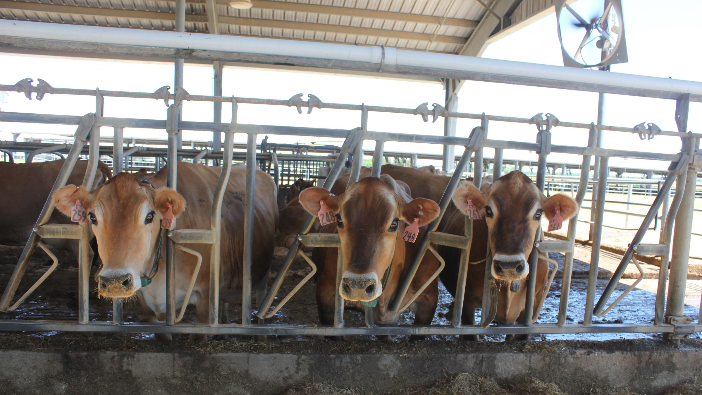 As Milk Production Cools In Summer, Farmers Try To Help Cows Take