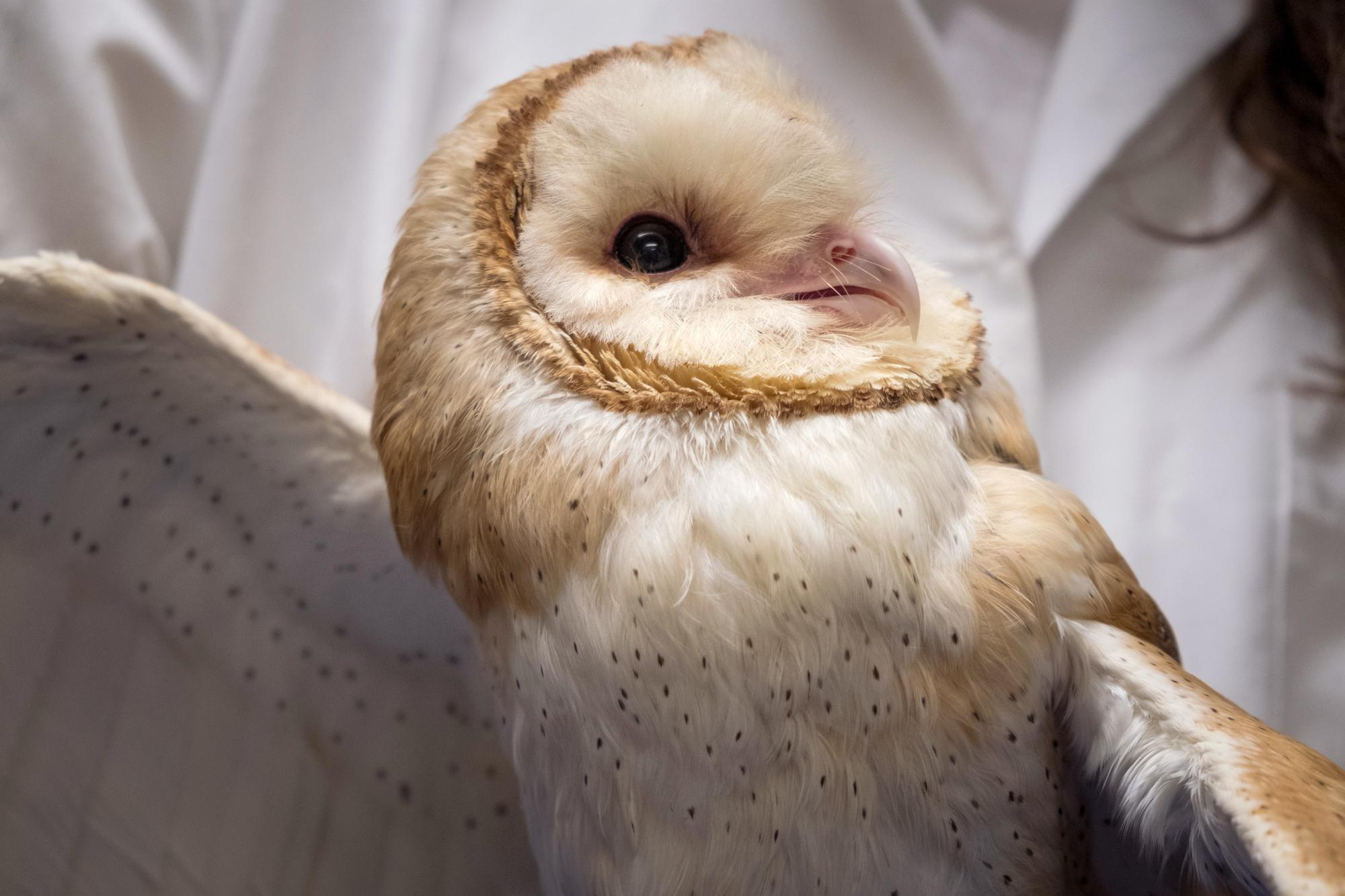 Scientists Study Barn Owls To Understand Why People With ...