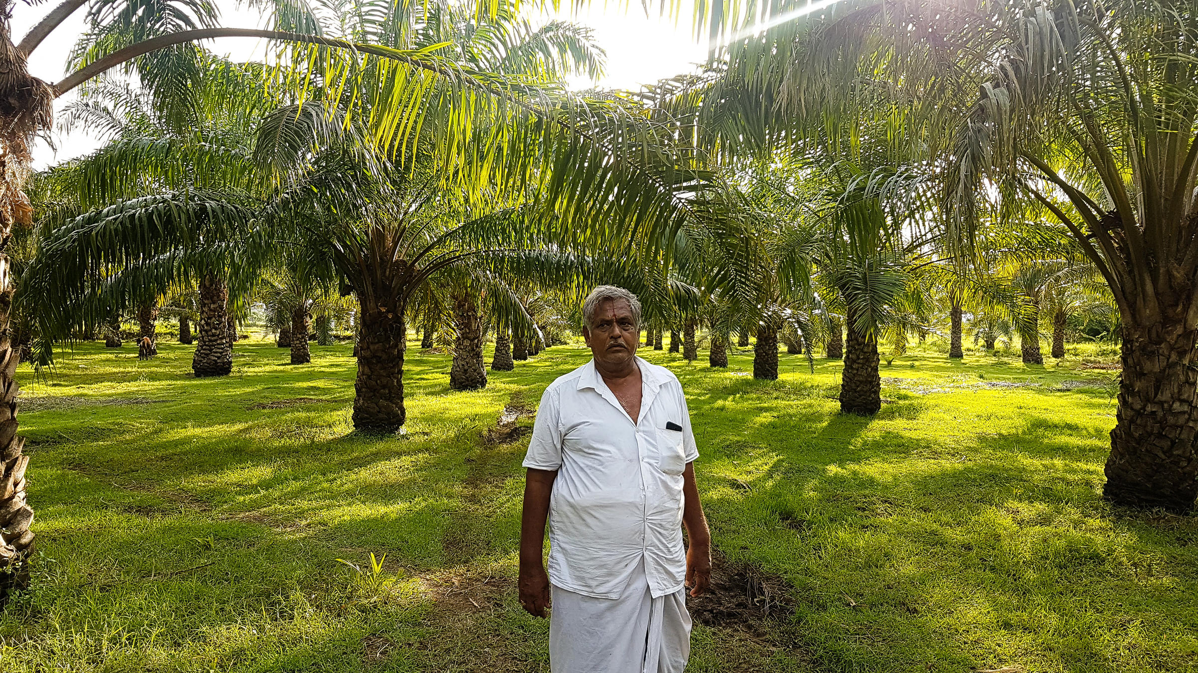 Amid Palm Oil Boycott, India Wants To Produce More Of It | NPR Illinois