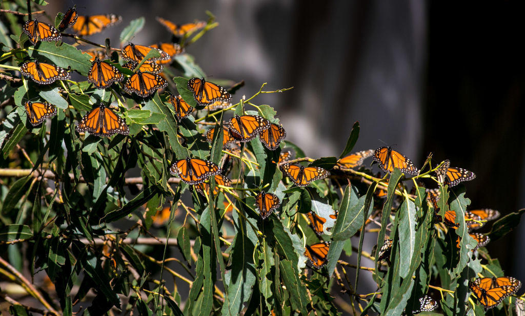 Monarch Butterflies Born In Captivity Have Trouble Migrating South, Study Says