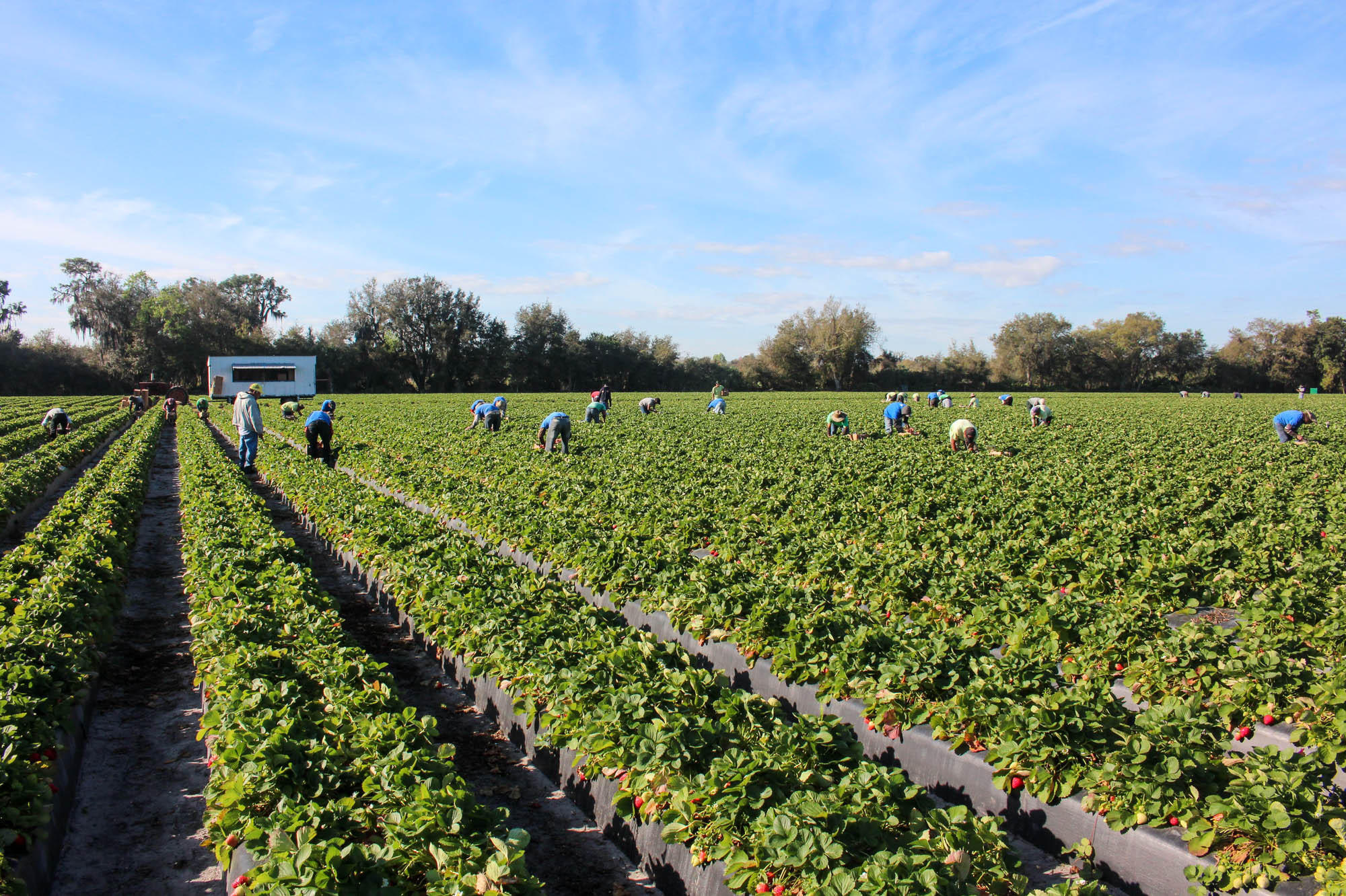 In Florida Strawberry Fields Are Not Forever Wusf News