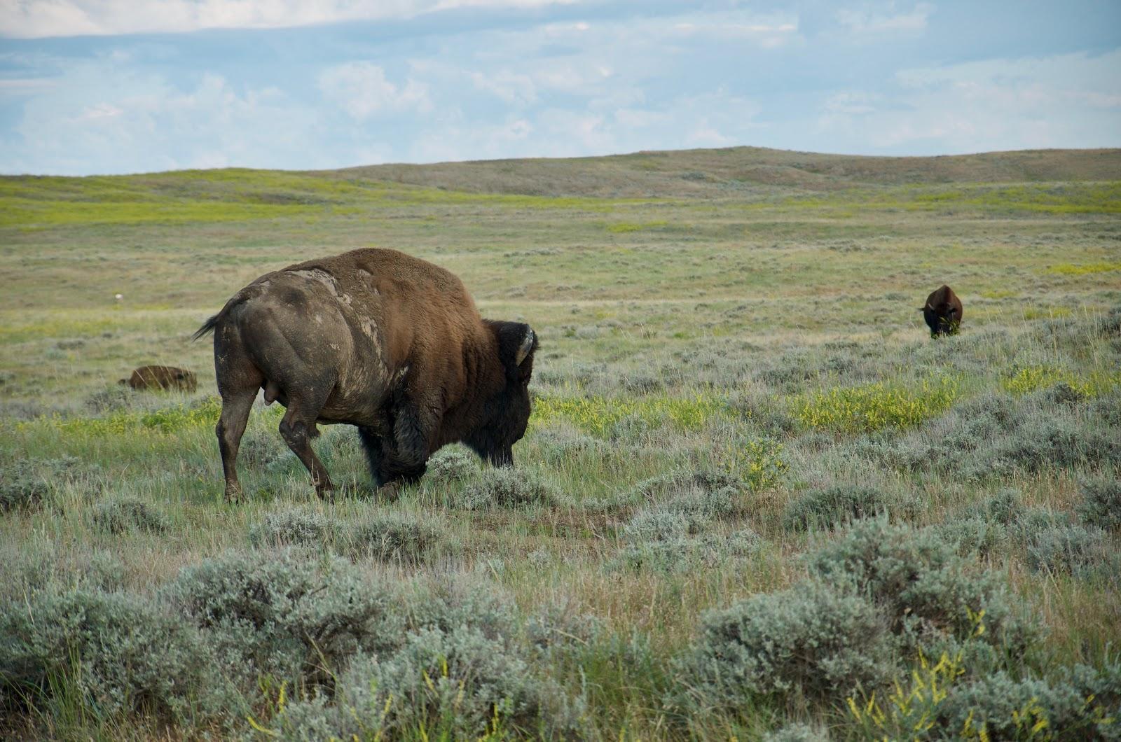 Medium Wise Elk true Black