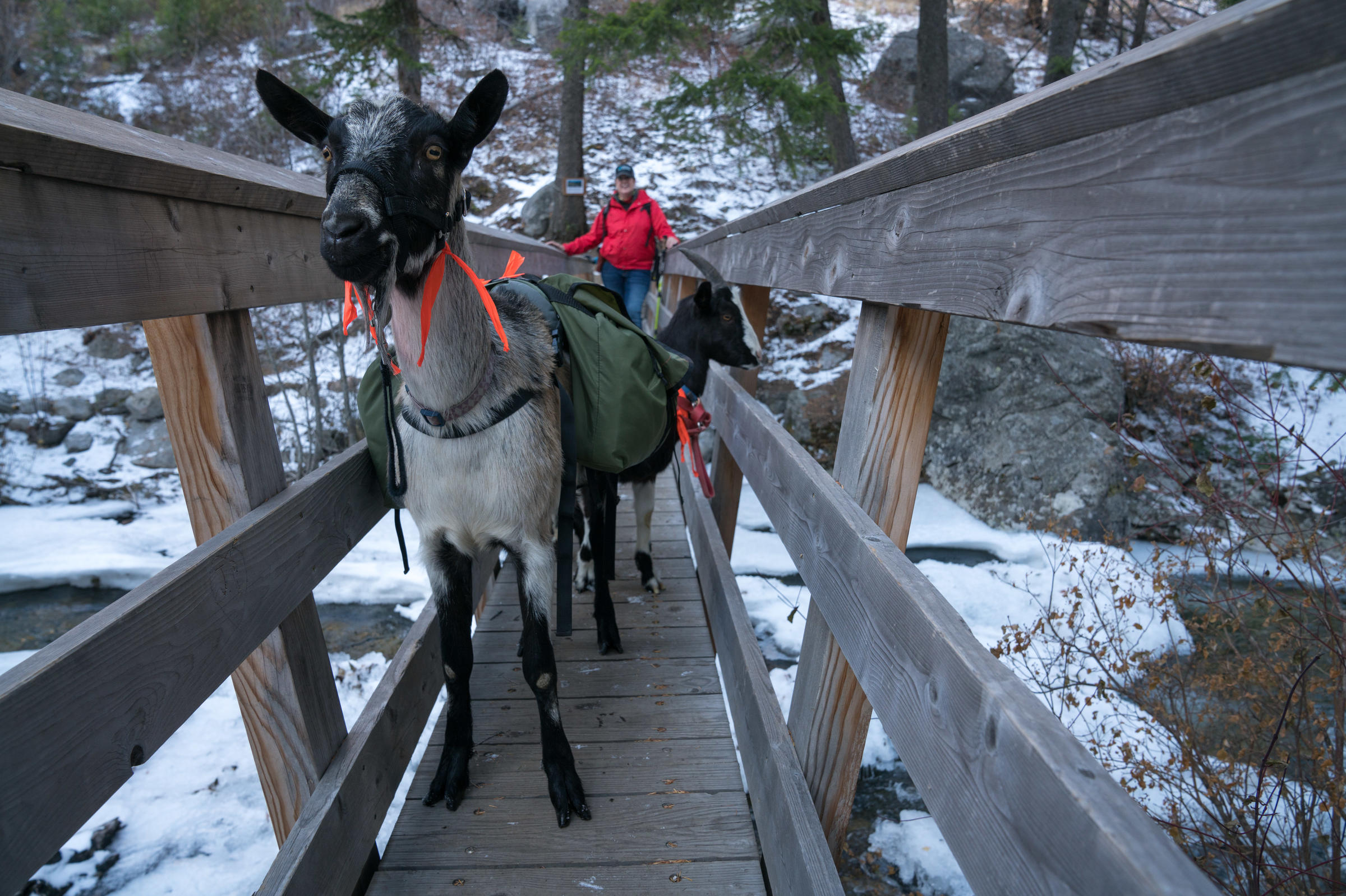 As Backcountry Travelers Shift Load To Goats, National Forests Eye Risks