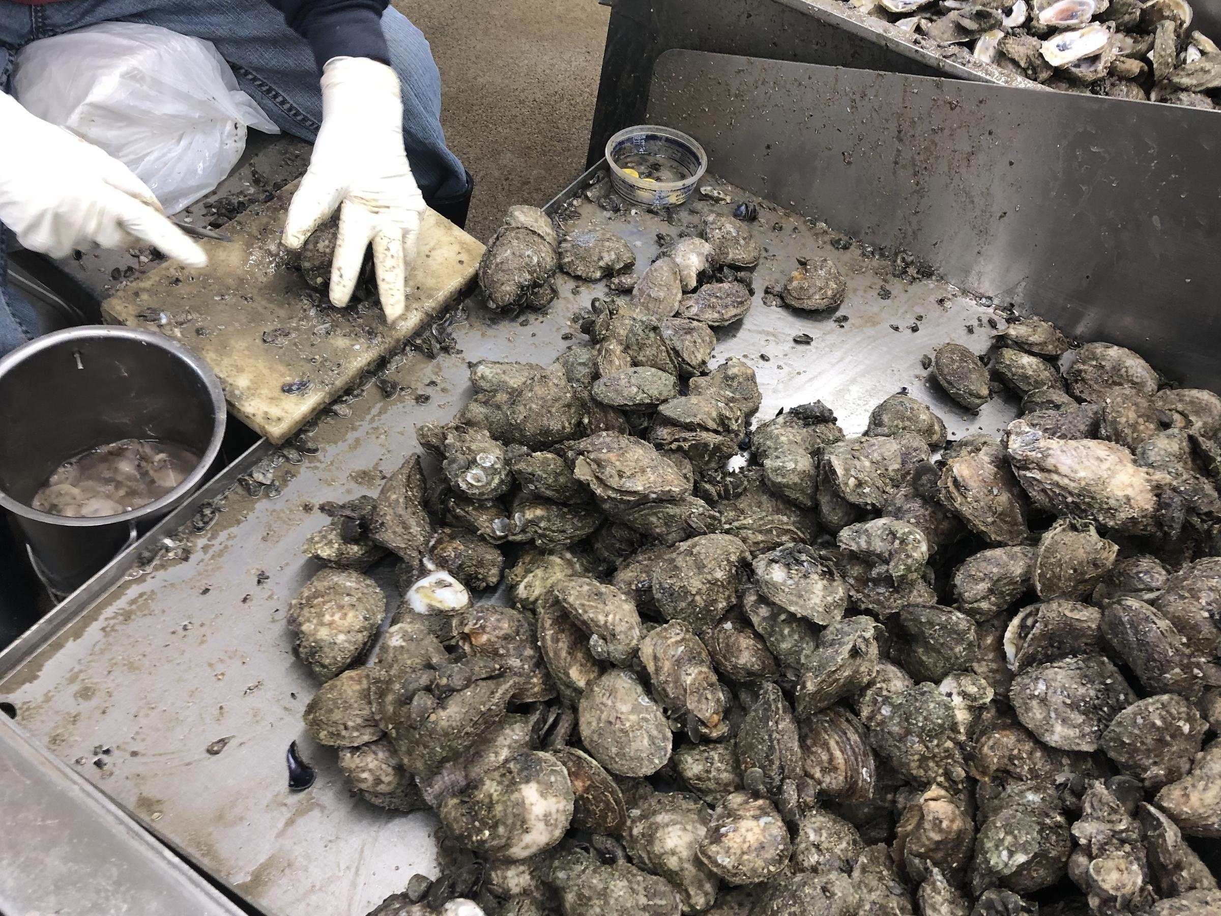 Fisheries And Fishermen Hard Hit By Decline Of Oysters On Gulf Coast
