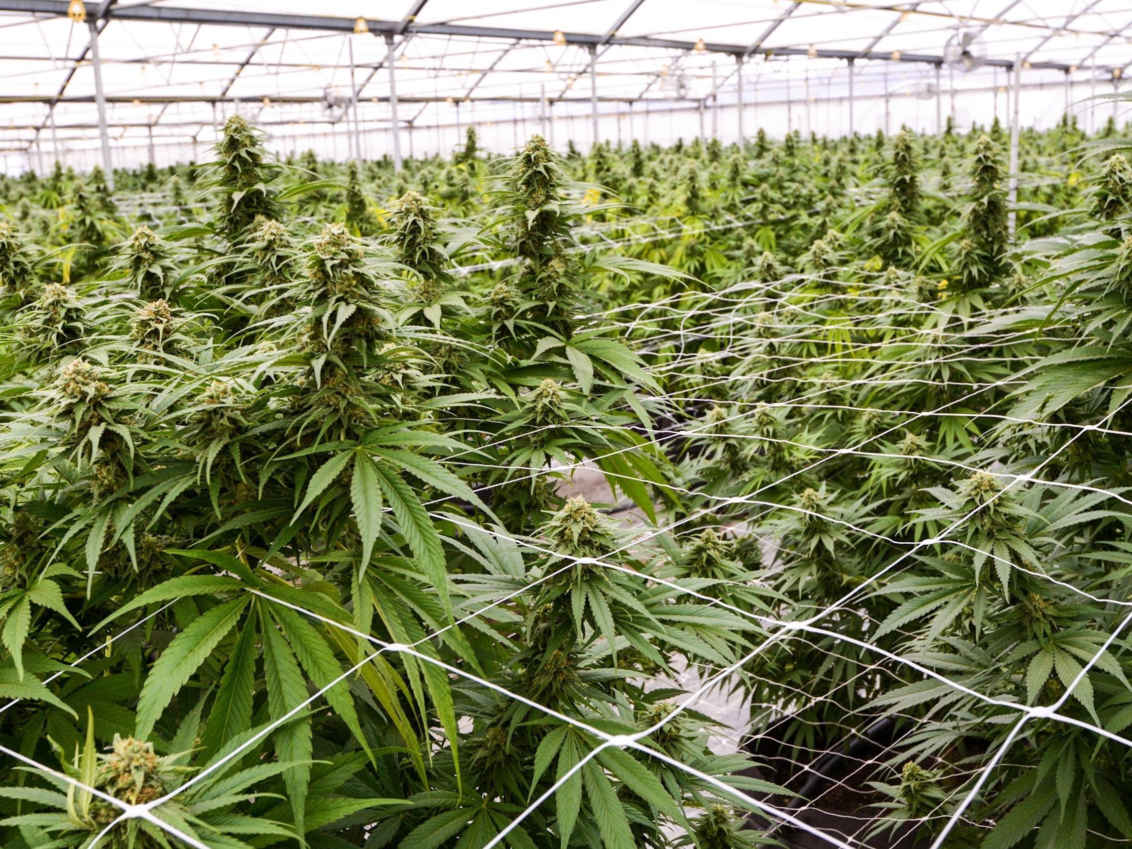 Марихуану получают достала марихуану