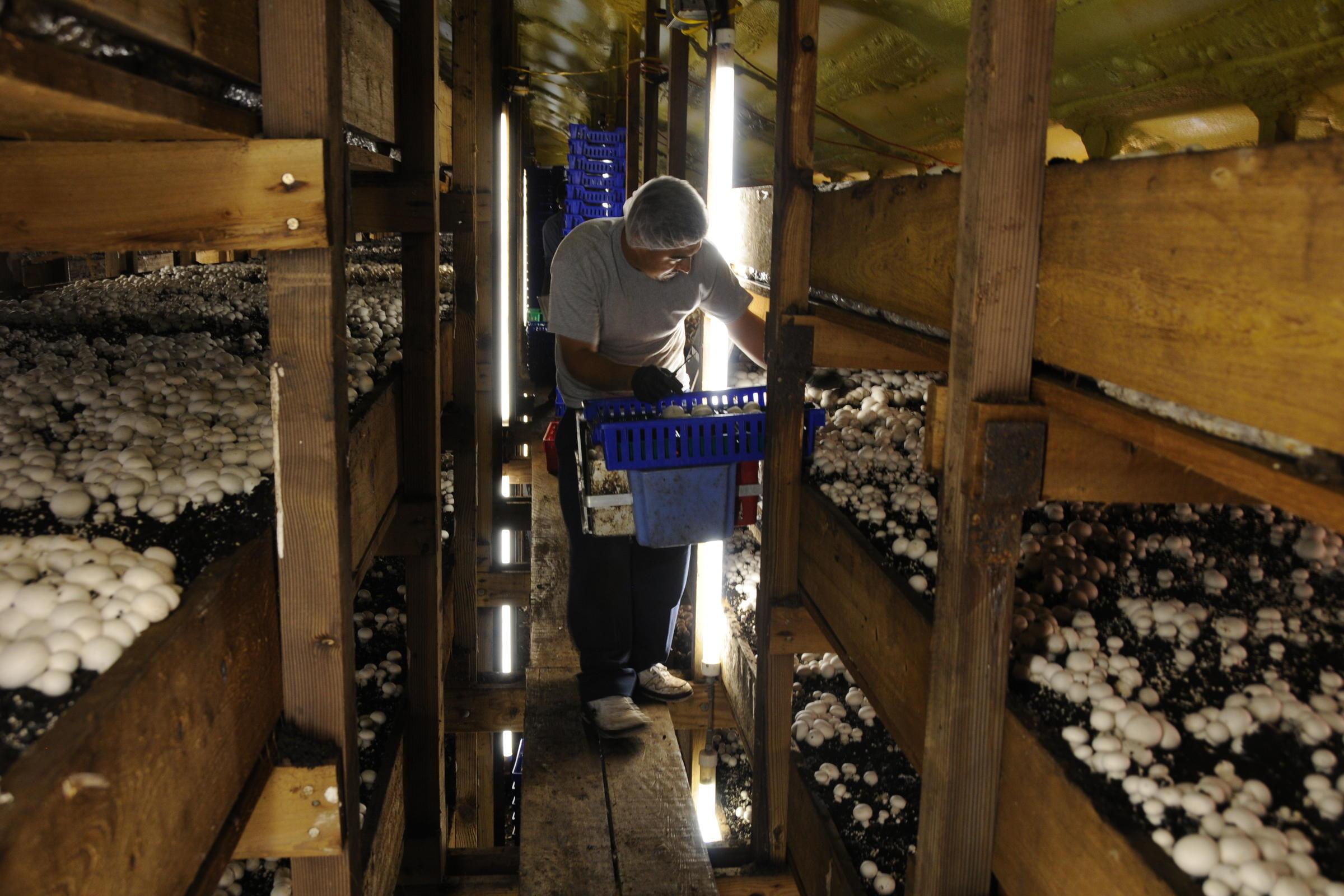 грибная ферма в подвале фото демонстрация того