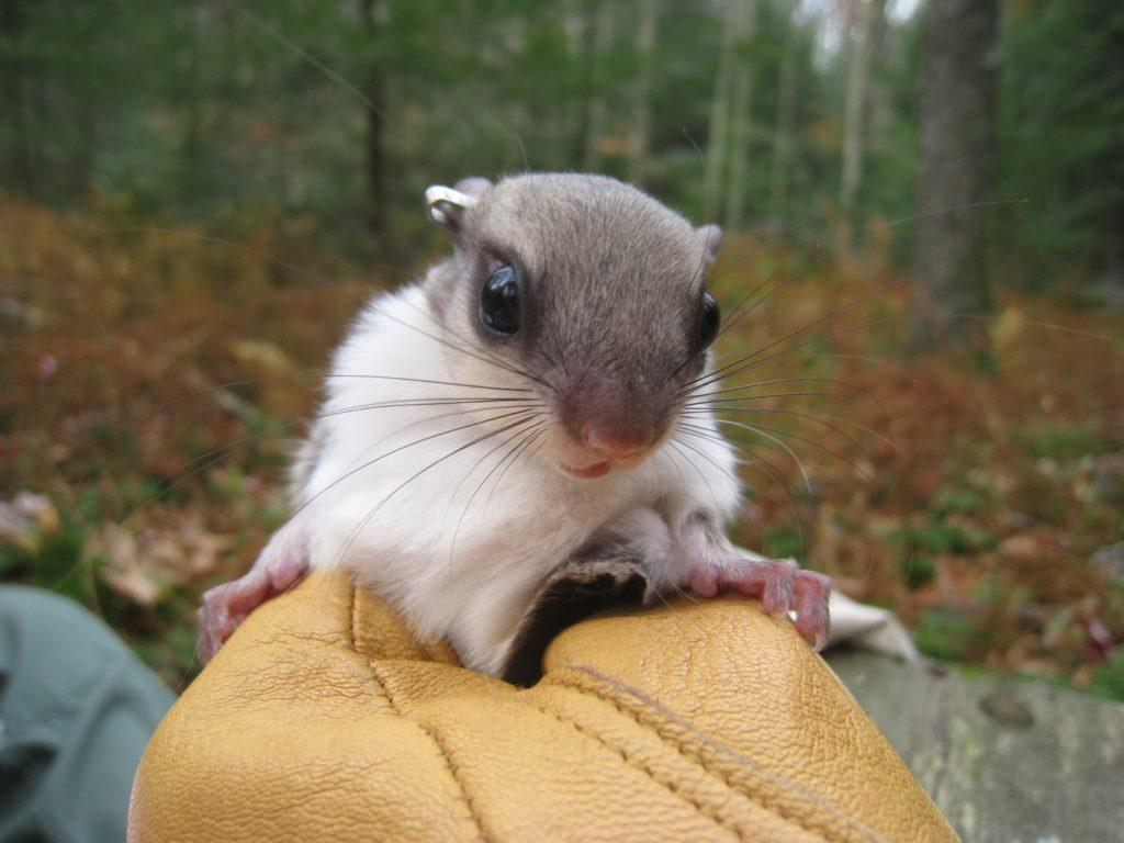 Glidepath To Recovery: Flying Squirrels And Spruce Forests Share Common  Fate | 90.5 WESA