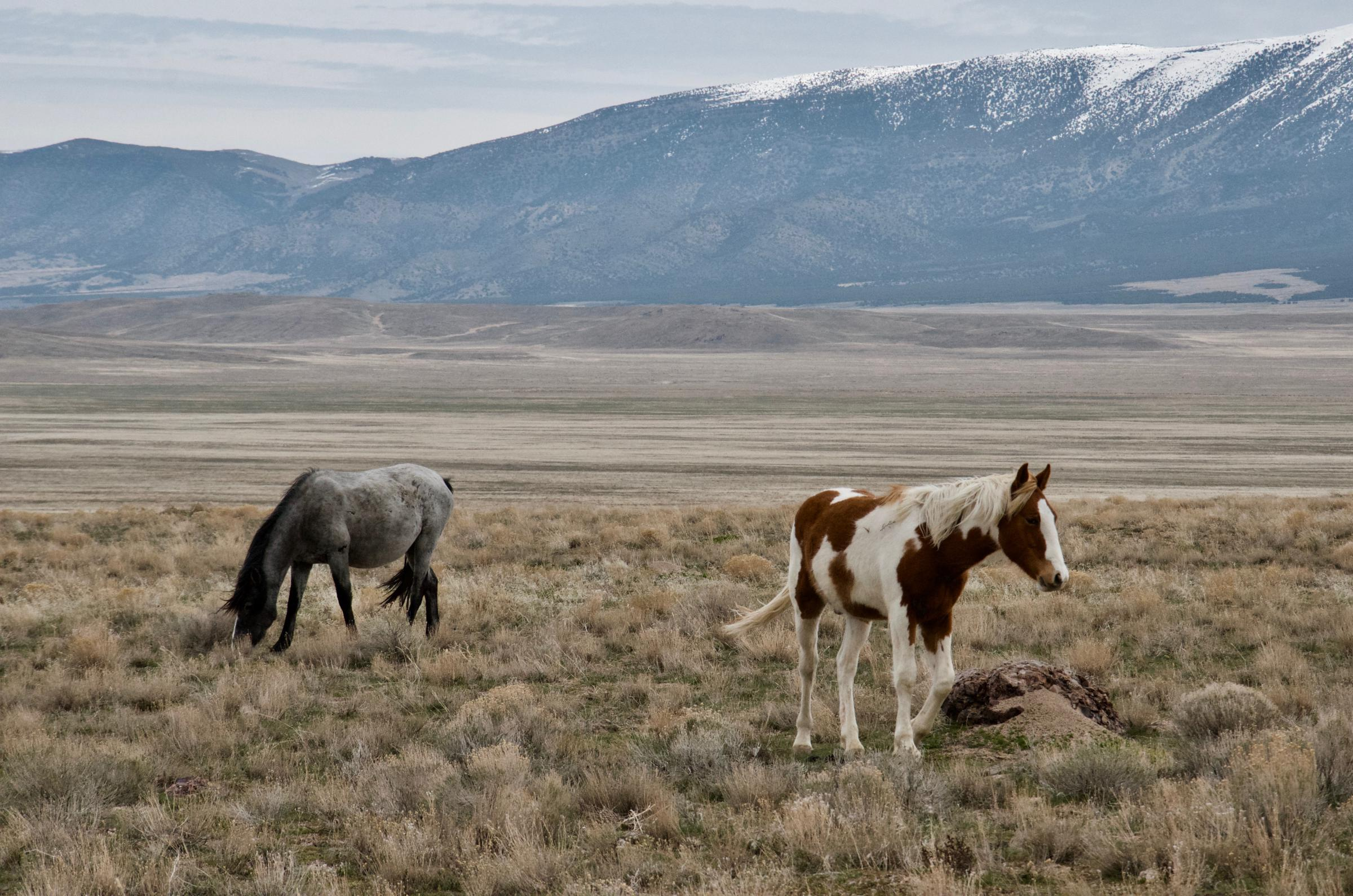A Record Population Boom Of Wild Horses Raises Hackles Among Ranchers Advocates Wyoming Public Media