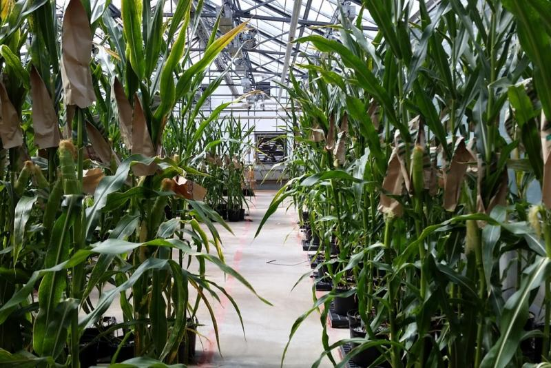 Test varietals of hybrid corn grow in a greenhouse at Monsanto's St. Louis headquarters. (Annie Ropeik/IPB News)