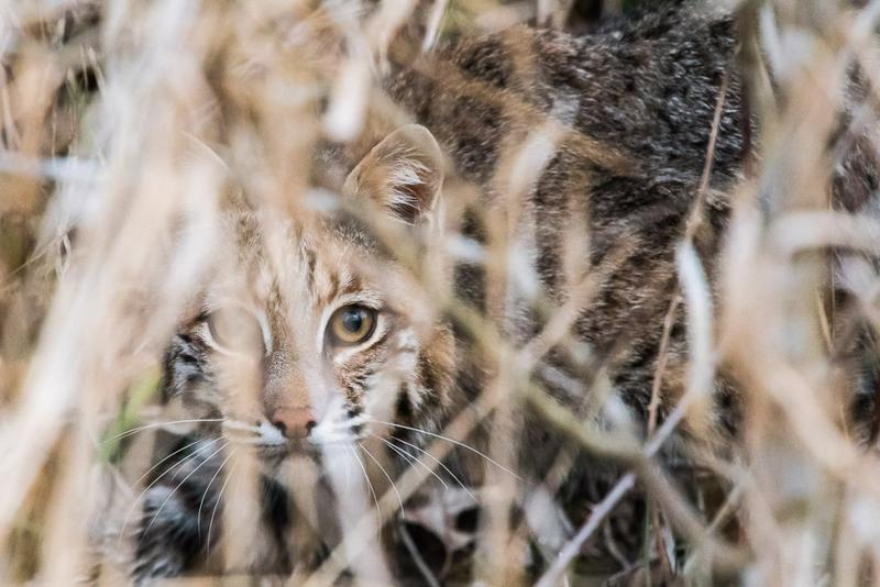 A bobcat hides in Beanblossom Bottoms earlier this year. (Courtesy Chip Methvin/ Sycamore Land Trust)