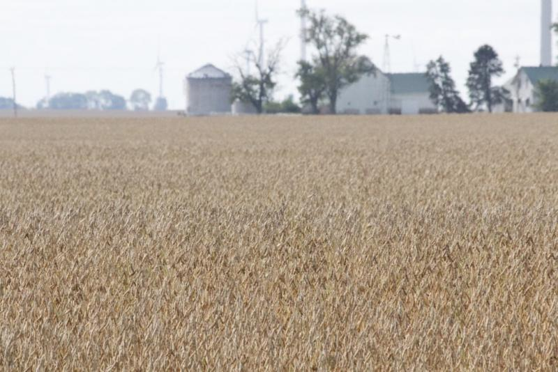 Soybeans awaited harvest in this White County field in early October. (Annie Ropeik/IPB News)