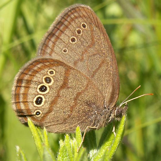 Mitchell's satyr (Neonympha mitchellii) photographed in Van Buren County, Michigan (Nate and Erin Fuller/Wikimedia Commons)