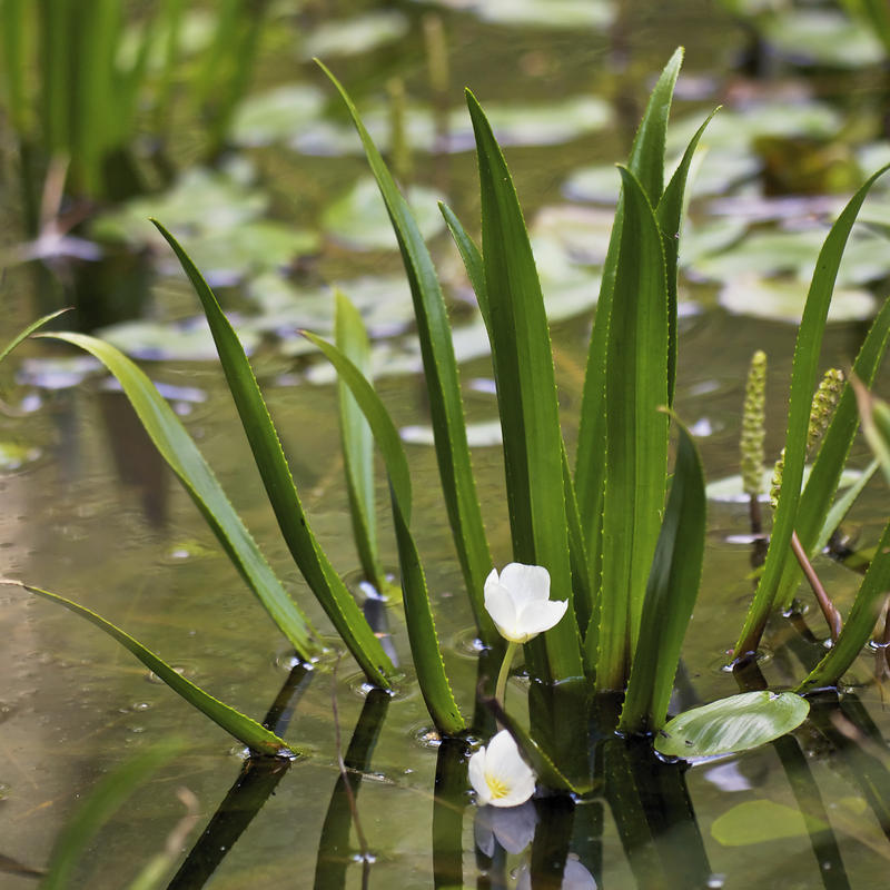 The invasive plant water soldier is not yet in Indiana, but the state DNR isn't taking any chances and has banned the sale of the plant (Jörg Hempel/Wikimedia Commons)
