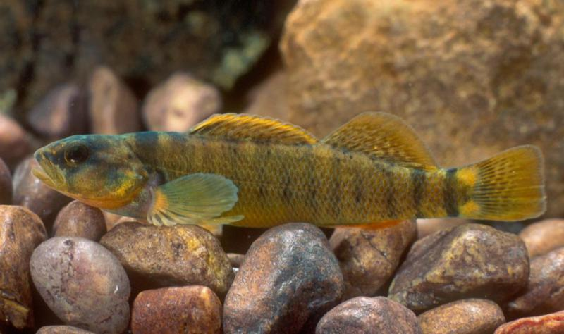 The Tippecanoe darter is one of the smallest fish in Indiana, getting upt to just an inch and a half long (Robert Criswell/U.S. Fish and Wildlife Service)
