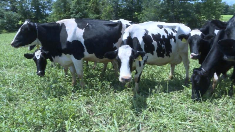 Dairy cows at a farm near Seymour. (Brock Turner/WTIU)