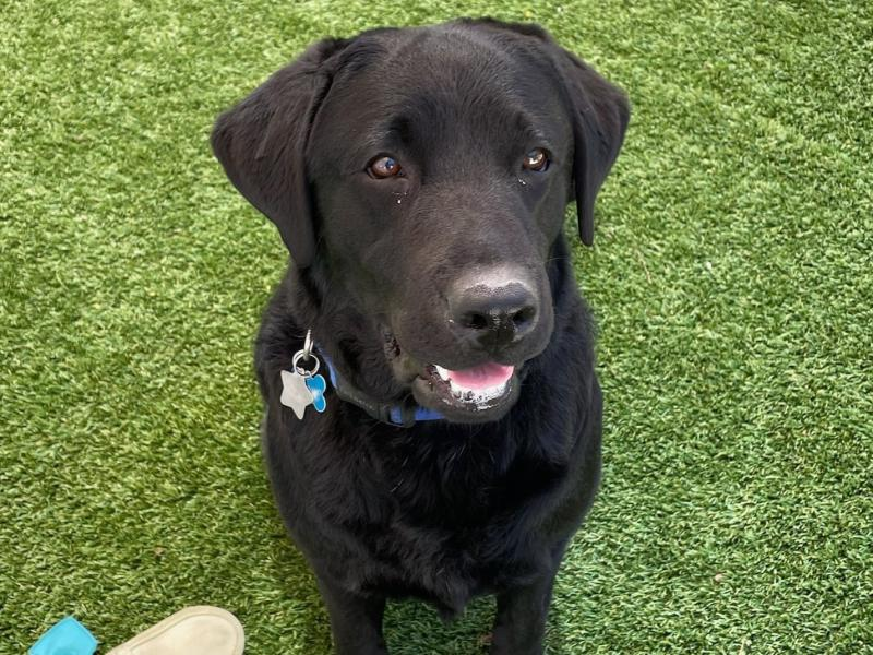 Lila, a 2-year-old black Labrador retriever, is joining the U.S. Capitol Police force as their emotional support animal.