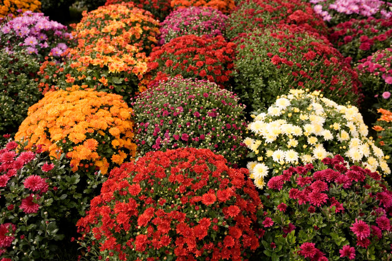 There Are Many Well Quaffed Chrysanthemums On The Market With Flowers That Look Like Ons