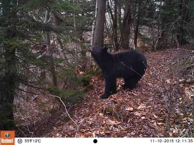 A bear travels near the site of a proposed wind development in the Green Mountain National Forest.