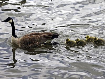 11b22bbb1cb BirdNote: Canada Geese - Migratory or Not | Vermont Public Radio