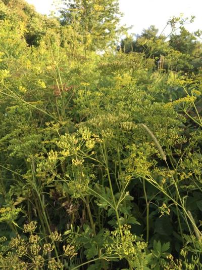 Vermonters Warned About Wild Parsnip: What Makes It