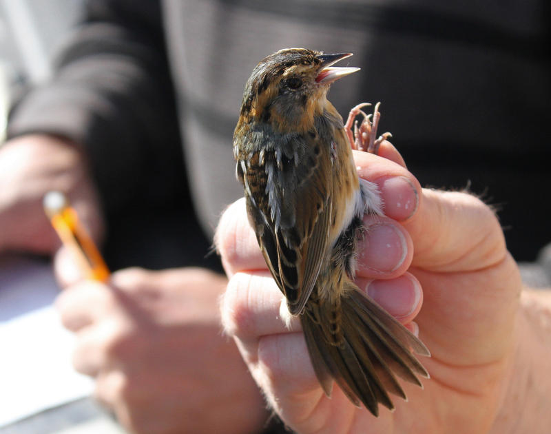 Researchers in Georgia catch and tag saltmarsh sparrows to learn more about where they live.