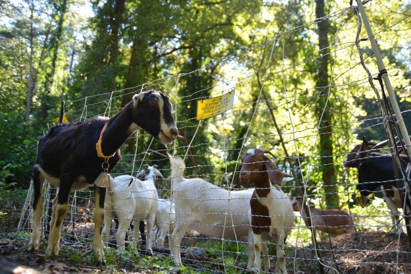 In 2009, my neighbors wanted me to clear out some land for them with my dairy goats, and we did that. We got a bunch of phone calls, and they got a bunch of phone calls, so we started this business.
