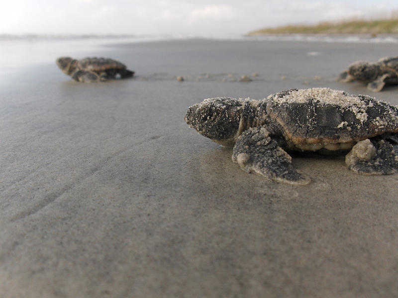 Baby loggerhead sea turtles make their way to the ocean for the first time.