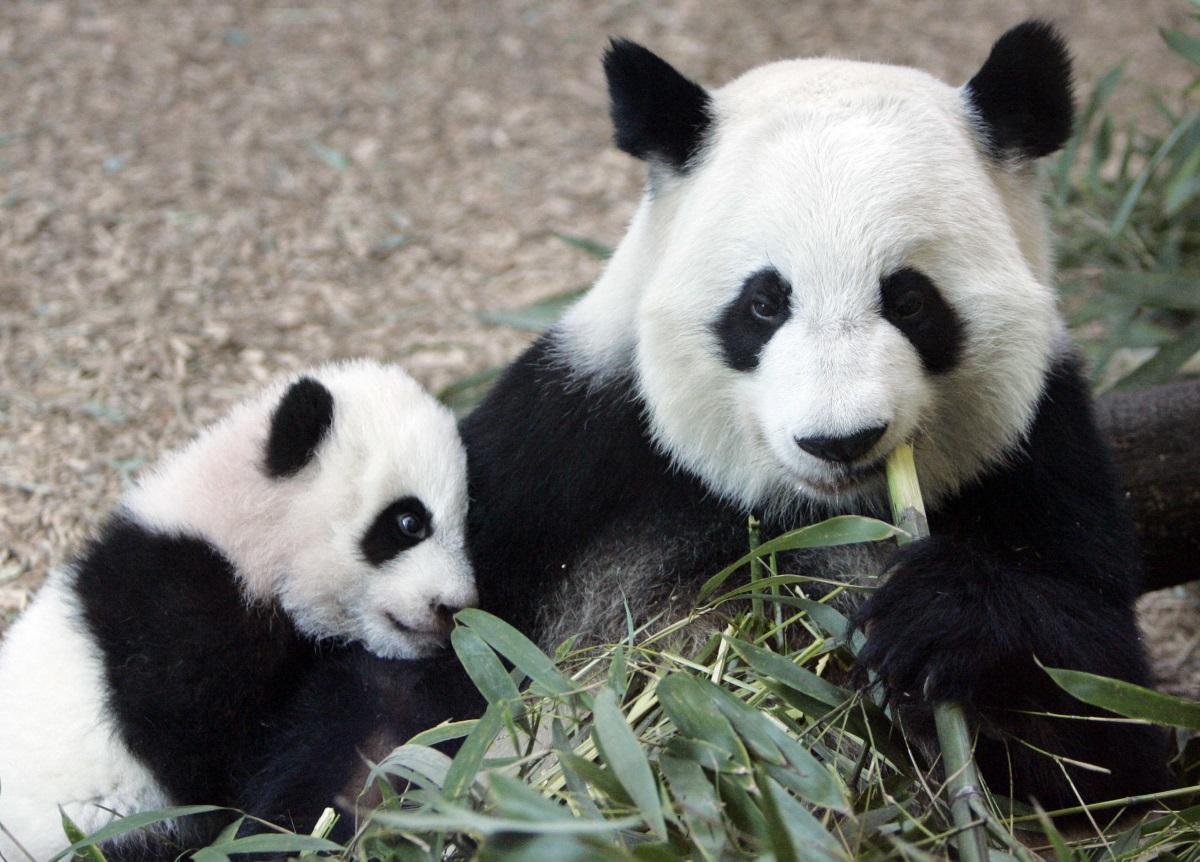 Atlanta Zoo Lets Public Choose Young Panda Twins Names Wabe 90 1 Fm